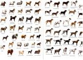 Psy rasowe - bazar